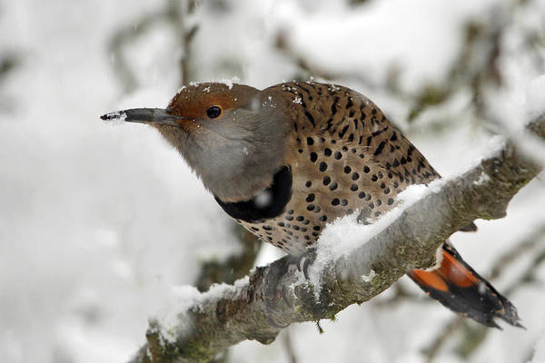 Northern Flicker Photograph - Northern Flicker In Snow by Inge Riis McDonald