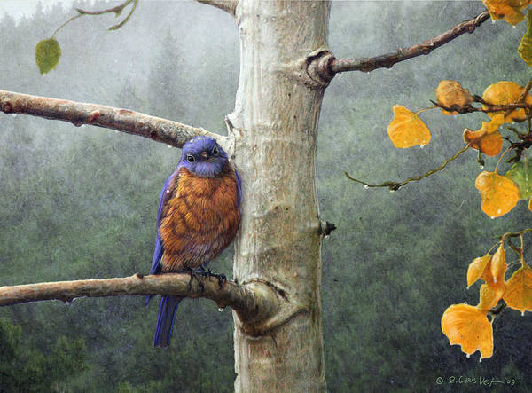 Rain Song Painting - Cold Rain Western Bluebird by R christopher Vest