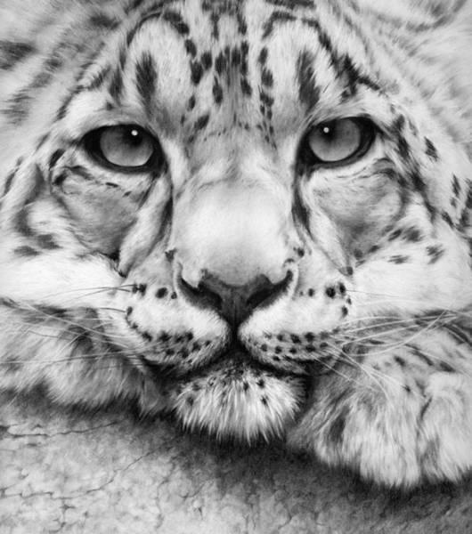 Gorgeous Drawing - Cold Stare - Drawing by Natasha Denger
