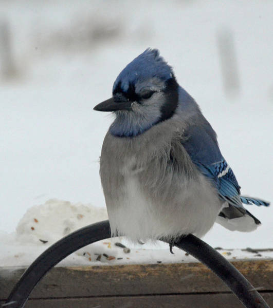 Cold Winter Day At Feeder Blue Jay Art Print
