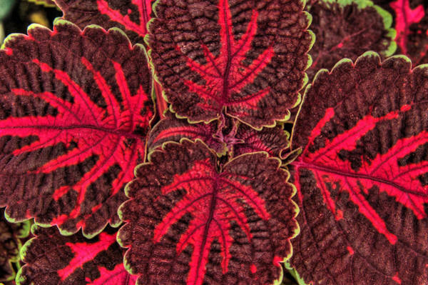 Photograph - Coleus Close-up by Rob Huntley