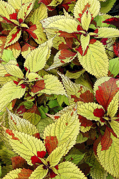 Photograph - Coleus Detail by Rob Huntley