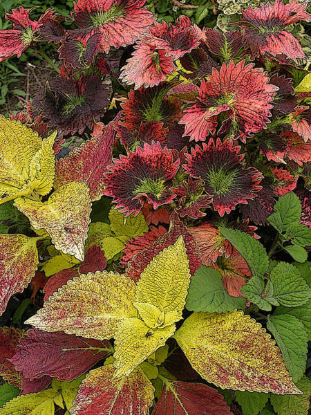 Photograph - Coleus Display by Rob Huntley