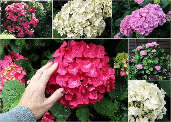 Photograph - Collage Hydrangea by Helene U Taylor