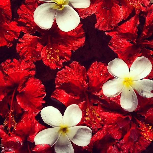 Frangipani Photograph - Collage Of Red Hibiscus And Plumeria by Sarah Mcmullan