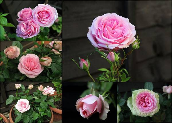 Photograph - Collage Pink Pot Rose by Helene U Taylor