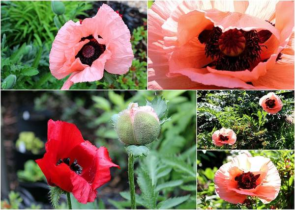 Photograph - Collage Poppies by Helene U Taylor