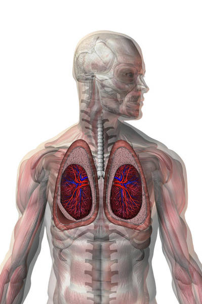 Lung Photograph - Collapsed Lung by Carol & Mike Werner