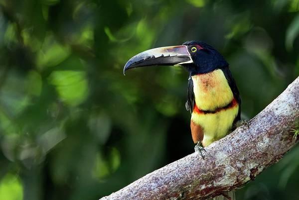 Toucan Photograph - Collared Aracari by Nicolas Reusens