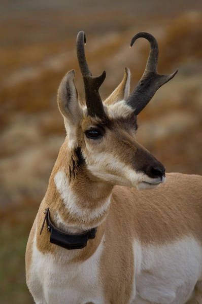 Pronghorn Photograph - Collared Pronghorn Buck Head Shot by Animal Images