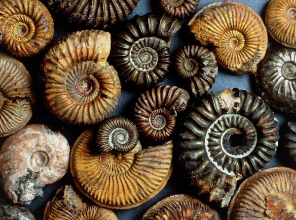 Palaeontology Wall Art - Photograph - Collection Of Ammonites by Sinclair Stammers/science Photo Library.