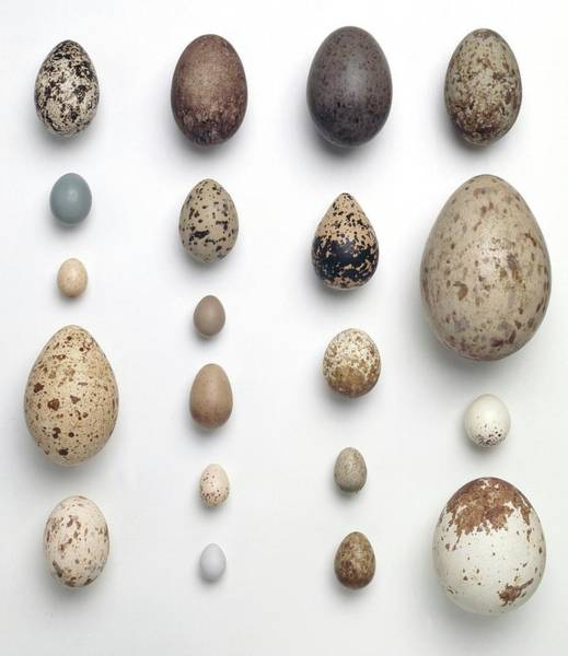 Biodiverse Wall Art - Photograph - Collection Of Birds Eggs by Natural History Museum, London/science Photo Library
