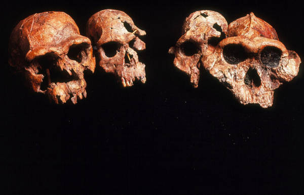 Wall Art - Photograph - Collection Of Fossil Hominids by John Reader/science Photo Library