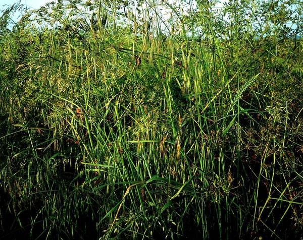 Thicket Photograph - Collection Of Grasses In A Thicket by Phil Jude/science Photo Library