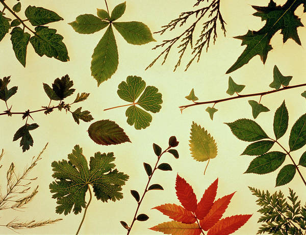 Horticulture Photograph - Collection Of Leaf Shapes by Adam Hart-davis/science Photo Library