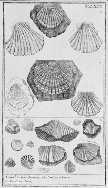 Mollusca Photograph - Collection Of Molluscs by Natural History Museum, London