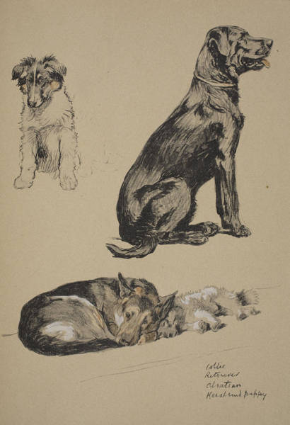 Hound Drawing - Collie, Retriever, Alstian And Keeshund by Cecil Charles Windsor Aldin