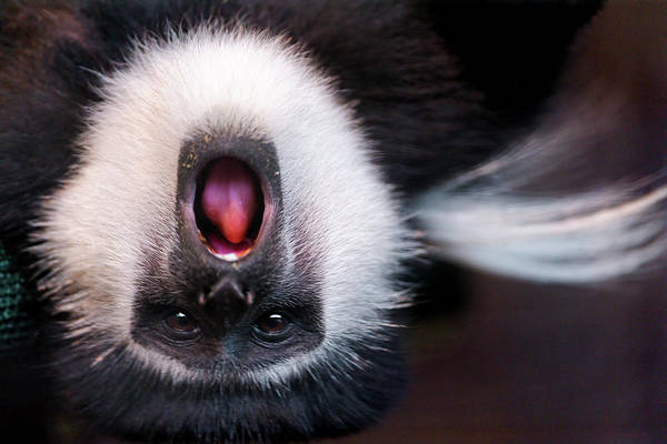 Upside Down Photograph - Colobus Monkey Upside Down by Picture By Tambako The Jaguar