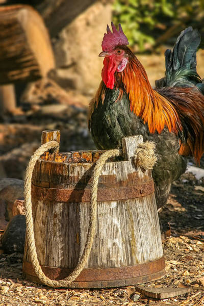 Photograph - Coloful Rooster 2 by Mary Almond
