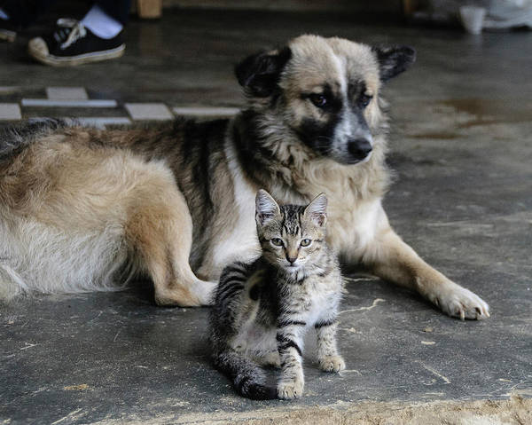 Colombia Photograph - Colombia, Minca Kitten And Dog by Matt Freedman