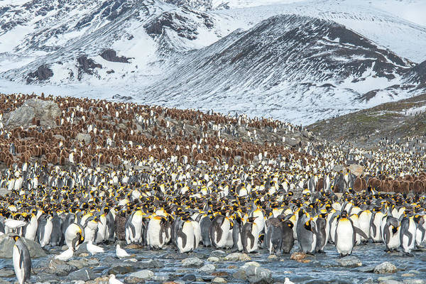 Wall Art - Photograph - Colony Of King Penguin, Aptenodytes by Tom Murphy