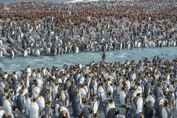 King Penguin Wall Art - Photograph - Colony Of King Penguins, Aptenodytes by Tom Murphy