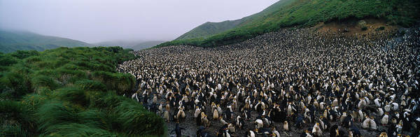 Royal Colony Photograph - Colony Of Royal Penguin Eudyptes by Animal Images