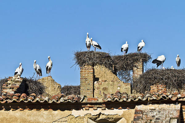Photograph - Colony Of Storks Nesting by Heiko Koehrer-Wagner