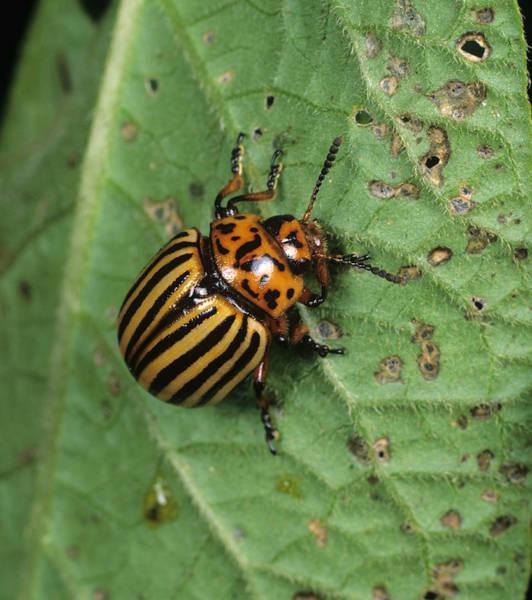 Wall Art - Photograph - Colorado Beetle by Nigel Cattlin