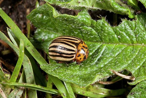 Eastern Europe Photograph - Colorado Beetle On A Leaf by Bob Gibbons