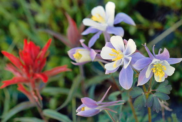 Roosevelt National Forest Photograph - Colorado Blue Columbine by Eric Glaser