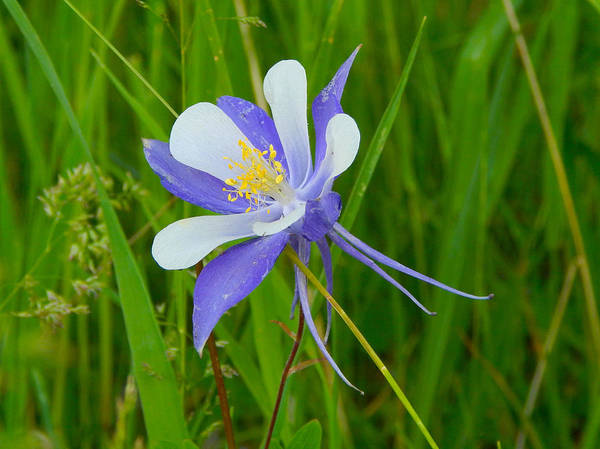 Photograph - Colorado Columbine by Dan Miller