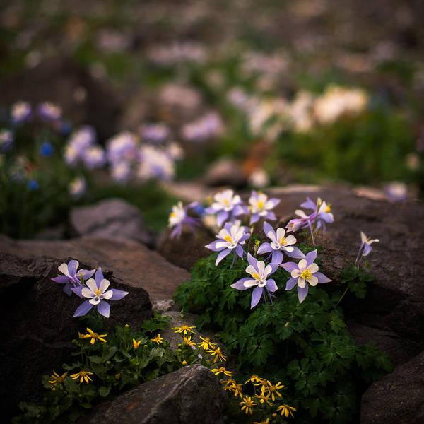 Alpine Photograph - Colorado Columbine Glamour Shot by Mike Berenson