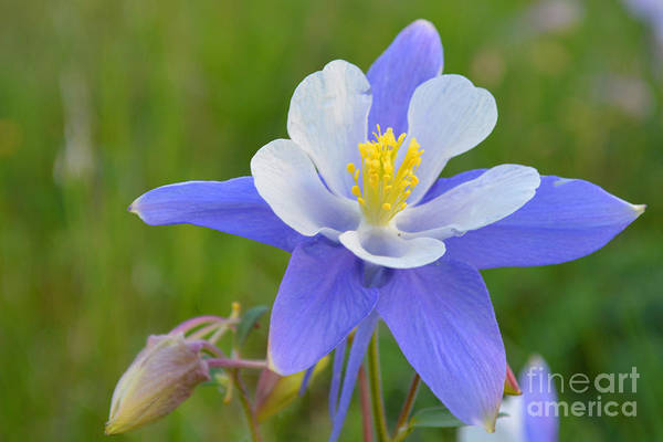Photograph - Colorado Columbine by Kate Avery