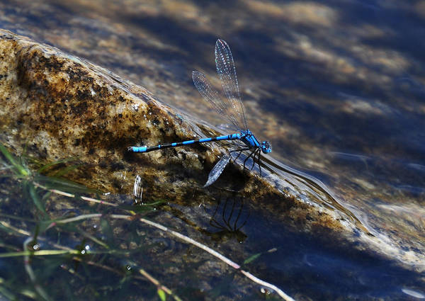 Lake Granby Wall Art - Photograph - Colorado Dragonfly  by Lana Smith