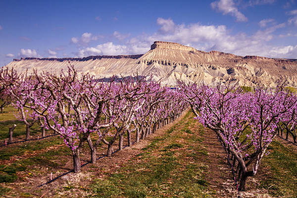Colorado Orchards In Bloom Art Print