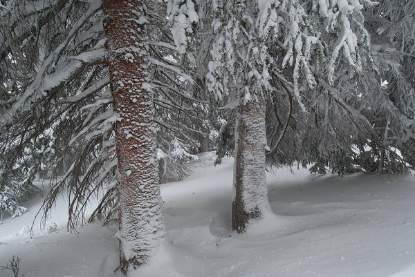 Photograph - Colorado Snow-covered Pines by Cascade Colors