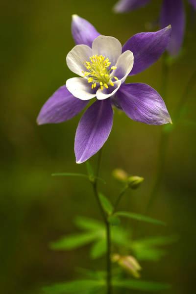 Photograph - Colorado State Flower by Teri Virbickis