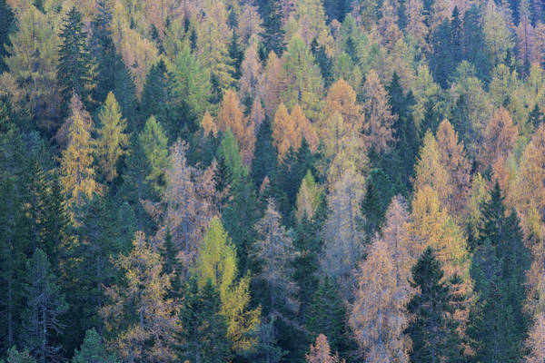 Pine Tree Photograph - Colored Pine And Larch Forest by Werner Van Steen