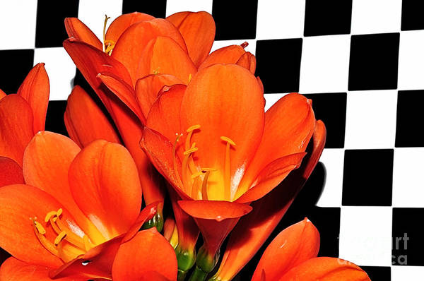 Clivia Wall Art - Photograph - Colorful Clivias On Black And White Checks by Kaye Menner