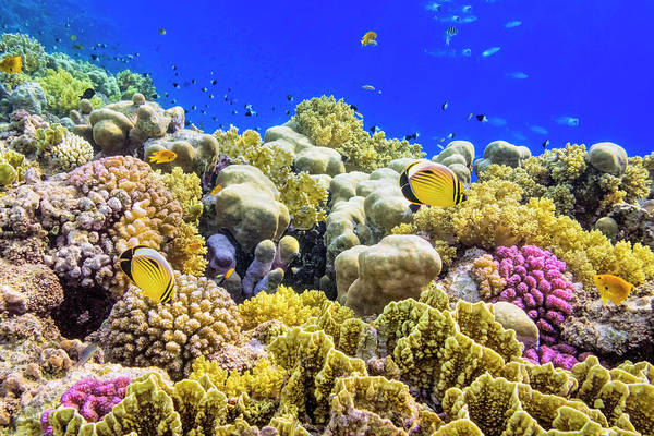 Underwater Photograph - Colorful Coral Reef On Red Sea Nearby by Cinoby