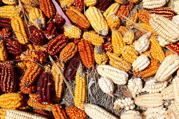Photograph - Colorful Corn Cobs by James Brunker
