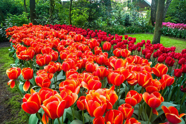 Queens Birthday Photograph - Colorful Corner Of The Keukenhof Garden 2. Tulips Display. Netherlands by Jenny Rainbow