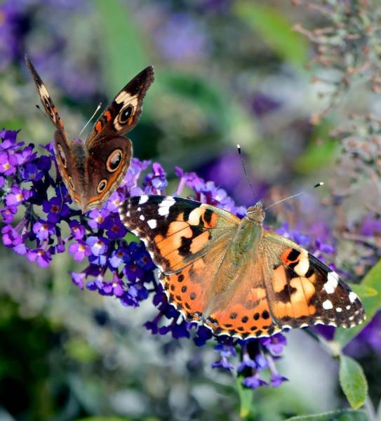 Buckeye Butterfly Wall Art - Photograph - Colorful Cousins by Deena Stoddard