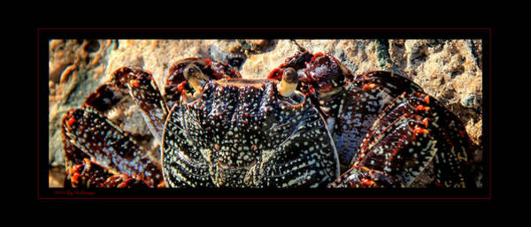 Photograph - Colorful Crab by Lucy VanSwearingen