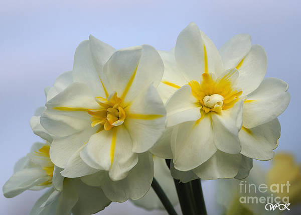 Photograph - Colorful Daffy's by Wanda Krack