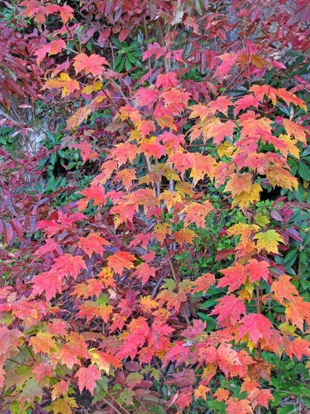 Photograph - Colorful Fall Maple Leaves by Duane McCullough