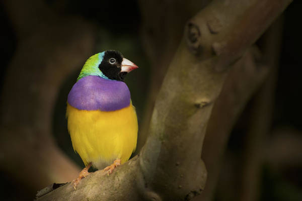 Photograph - Colorful Gouldian Finch by Penny Lisowski