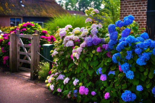 Colorful Hydrangea At The Gate. Giethoorn. Netherlands Art Print