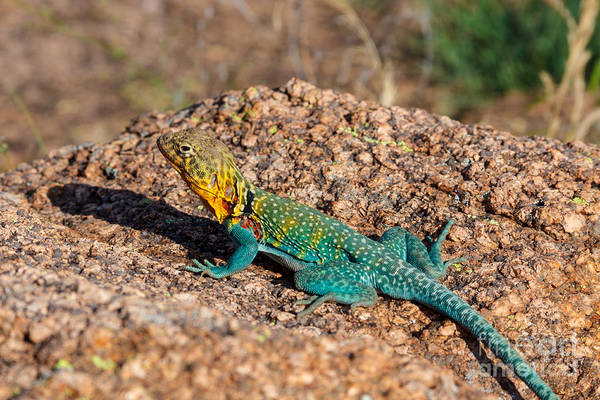 Photograph - Colorful Lizard by Richard Smith